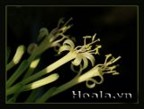 Khi Lưỡi hổ nở hoa
