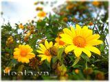 Mùa hoa dã quỳ rực rỡ ở  Đà Lạt