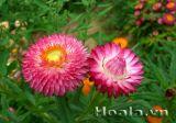 Hoa cúc bất tử minh chứng cho tình yêu bất diệt