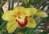 Hoa lan Hồng Hoàng