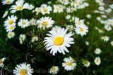 Ngây ngất mùa hoa cúc họa mi đẹp dịu dàng