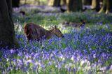 Lạc vào rừng hoa chuông thơ mộng ở Anh