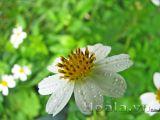 Hoa xuyến chi sức sống diệu kỳ