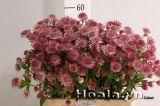 Astrantia, loài hoa có vẻ đẹp bình dị