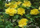 Hoa hồng gai sắc vàng rực rỡ