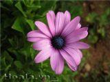 Hoa Cúc Marguerite đẹp dịu dàng