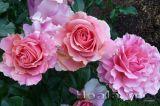 Du xuân ngắm vườn hồng tuyệt đẹp