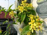 Hoa mai hoàng yến - dây kim đồng
