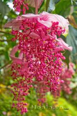 Rực rỡ chuỗi Hồng ngọc