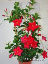 Hoa trang đài yêu kiều