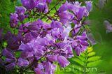Hoa phượng tím lung linh tuyệt sắc