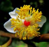 Hoa mù u trắng muốt ngọt ngào