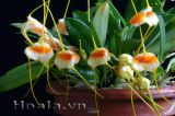 Hoa lan nhỏ xinh