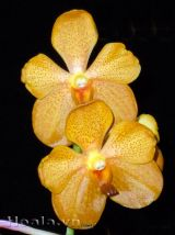 Hoa lan Mokana rực rỡ
