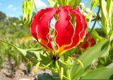 Hoa lily lửa rực cháy