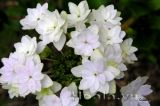 Hoa cẩm tú cầu Nhật Bản