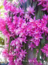 Kinh nghiệm trồng, chăm sóc và nhân giống hoa Nhật quỳnh