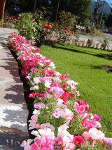 Cây hoa hồng xuân xinh tươi