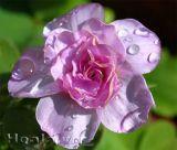 Cây hoa cỏ ba lá cánh kép sắc hồng tuyệt đẹp