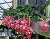 Những lẵng hoa Chúc đài (hồng ngọc) tuyệt sắc