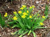 Hoa alium moly sắc vàng óng ả
