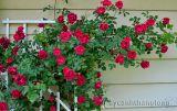 Cách chăm sóc để hoa hồng leo nở nhiều hoa