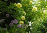 Hoa Mẫu Đơn trang trí sân vườn