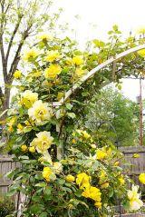 Hoa hồng  ngoại – Thú chơi mới của những tín đồ yêu hoa hồng
