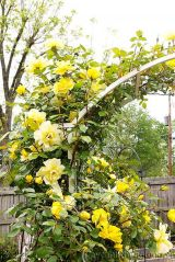 Trồng và chăm sóc hoa hồng ngoại dễ dàng hơn bạn nghĩ