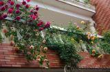 Hoa hồng leo và các ứng dụng trong trang  trí
