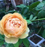 Những giống hoa hồng leo được cả thế giới ưa chuộng phần I