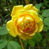 Cách lựa chọn những giống hoa hồng ngoại thuần hóa