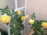 Cách chăm sóc hoa hồng ngoại vào mùa hè