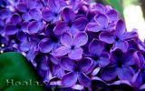Cây hoa tử đinh hương - công dụng và lợi ích