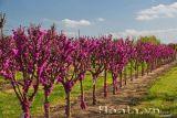 Cây hoa hạnh phúc cách trồng và chăm sóc