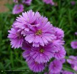 Vẻ đẹp Hoa thạch thảo và ứng dụng  trang trí