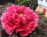 Hoa Mẫu đơn duyên dáng tuyệt đẹp, thơm nồng nàn