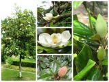 Cây sen đất - Loài hoa quý thân gỗ
