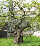 Những lưu ý khi lựa chọn cây bóng mát trang trí sân vườn
