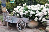 BST hoa hồng ngoại màu trắng tinh khiết