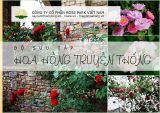 Bộ sưu tập hoa hồng truyền thống - hoa hồng cổ ở Việt Nam