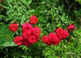 Điểm mặt những loài hoa hồng ngoại cho hoa đẹp mùa hè