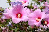 Bộ sưu tập những giống hoa dâm bụt đẹp nhất trồng trang trí hàng rào, đường viền