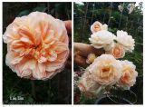 Hoa hồng ngoại và những điều thú vị có thể bạn chưa biết