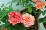 Phân biệt hoa hồng Tezza nhiệt đới hóa với Tezza trên thị trường