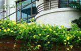 Bật mí 10 giống cây dây leo giữ cho ngôi nhà bốn mùa xanh mát