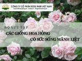 Bộ sưu tập những giống hoa hồng ngoại có sức sống mãnh liệt