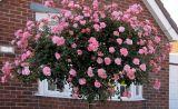 Tree rose ghép mắt hồng ngoại - Báu vật mới của làng hoa hồng