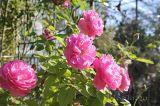 Vai trò quan trọng của ánh nắng mặt trời đối với cây hoa hồng