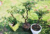 Cách tạo dáng thế cho hoa hồng bonsai